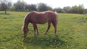 Продам рабочую лошадь,  7 лет